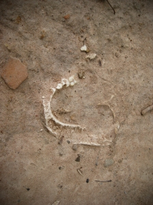 Mandible exposed through the soil at mass grave
